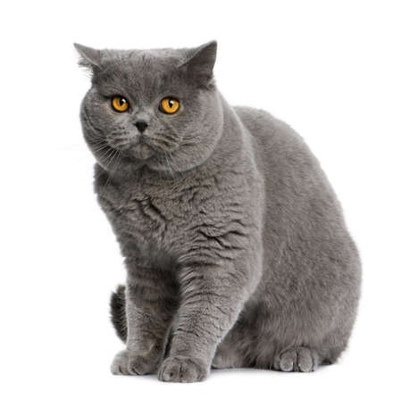 british shorthair (15 months old) in front of a white background photo