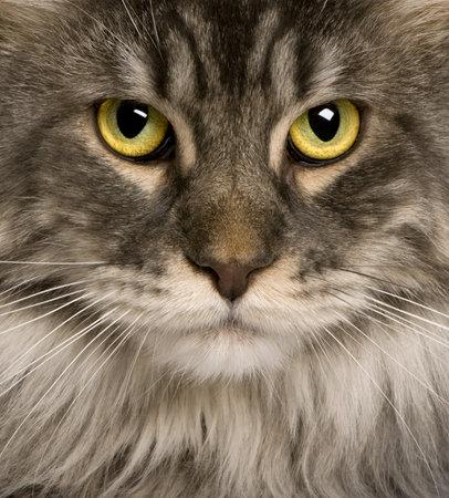 maine cat: Close up de Maine Coon (2 a�os) o coon gato, gato de maine, maine shag  Foto de archivo