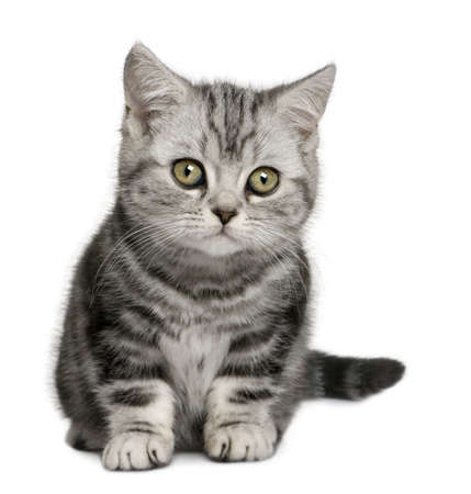 British Shorthair kitten (10 months old) in front of a white background photo