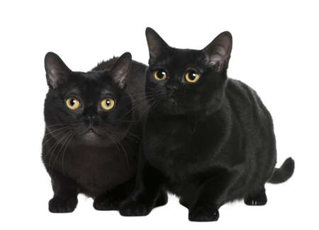 Bombay cat (10 months old) in front of a white background photo