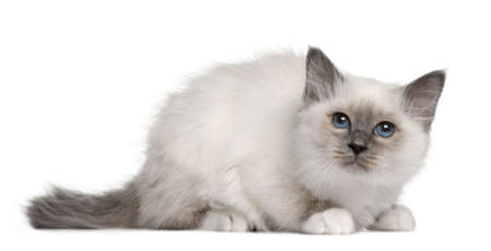 birman kitten: Birman kitten (3 months old) in front of a white background