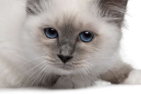 birman kitten: close up of a Birman kitten (3 months old) Stock Photo