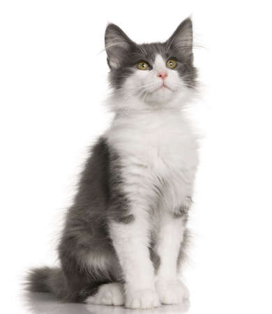 gray cat: Norwegian Forest Cat kitten (4 months old) in front of a white background Stock Photo