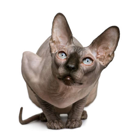 hairless: Sphynx cat, 1 year old, sitting in front of white background Stock Photo