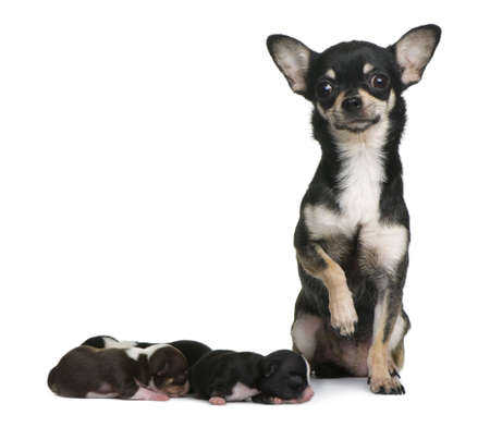 Mother Chihuahua  and her puppies, 4 days old, in front of white background photo