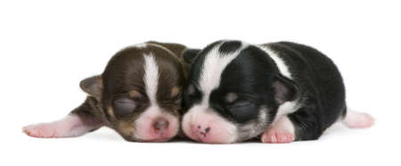 Mother Chihuahua and her puppy, 4 days old, resting in front of white background photo