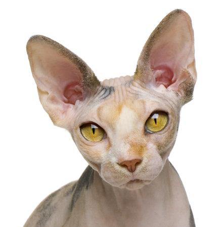 old year: Sphynx cat, 1 anno di et�, davanti a sfondo bianco