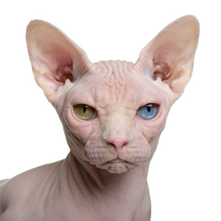 1 year old: Sphynx cat, 1 year old, in front of white background