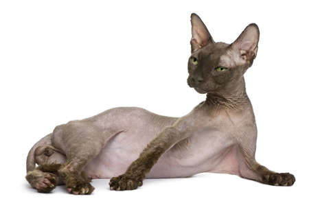 Old Sphynx cat, 12 years old, lying in front of white background