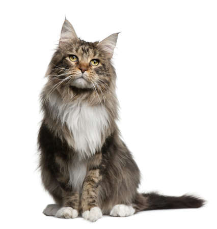 coon: Maine coon, 2 years old, sitting in front of white background