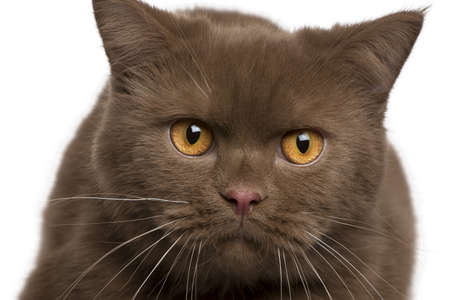 British shorthair cat, 11 months old, in front of white background Stock Photo - 7128129