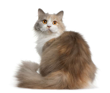 British longhair cat, 11 months old, sitting in front of white background photo