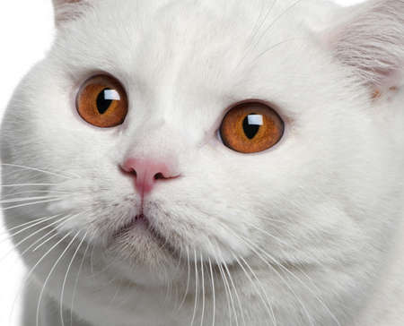 Close-up of British shorthair cat, 15 months old Stock Photo - 7128118