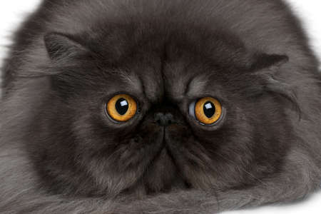 19: Persian cat, 19 months old, lying in front of white background