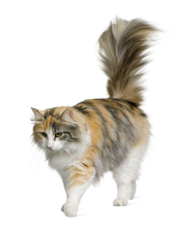 norwegian: Norwegian Forest Cat, 3 years old, standing in front of white background Stock Photo