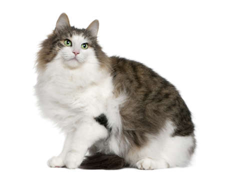 norwegian: Norwegian Forest Cat, 4 years old, sitting in front of white background
