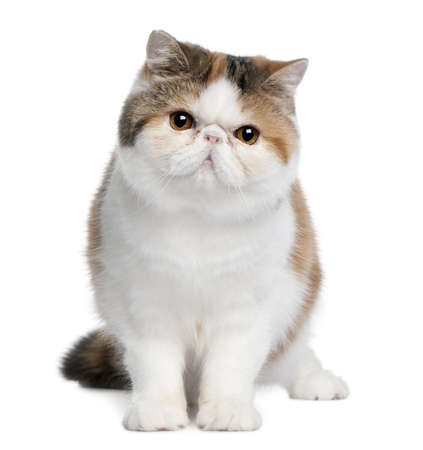 shorthair: Exotic shorthair cat, 8 months old, sitting in front of white background