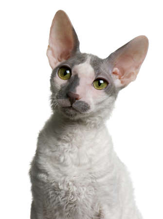 Cornish rex kitten, 4 months old, in front of white background Stock Photo - 7128021