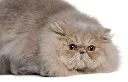 Persian cat, 11 months old, lying in front of white background photo