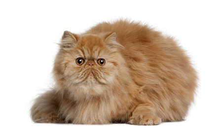Persian cat, 2 years old, sitting in front of white background photo