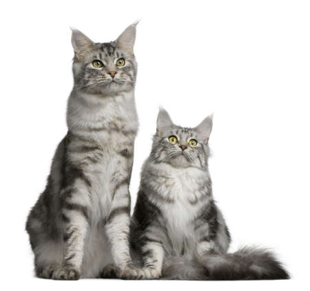 Two Maine coons, 1 year old, sitting in front of white background Stock Photo - 7128019