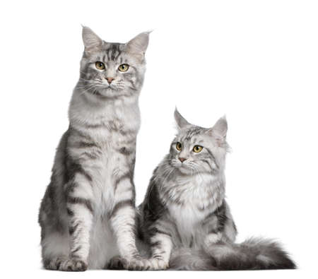 coons: Two Maine coons, 1 year old, sitting in front of white background Stock Photo