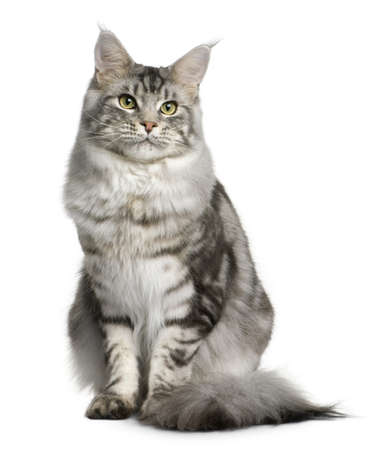 coon: Maine coon, 1 year old, sitting in front of white background