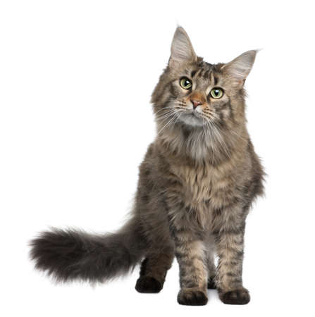 coon: Maine coon, 1 year old, standing in front of white background Stock Photo