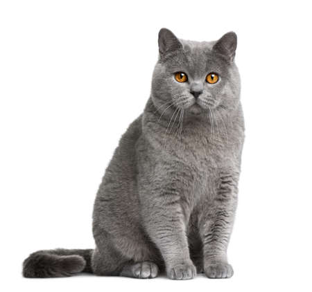 British shorthair cat, 12 months old, sitting in front of white background photo