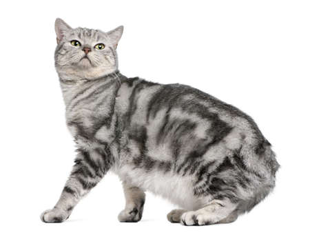 British shorthair cat, 15 months old, in front of white background Stock Photo - 7128110