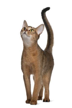 abyssinian cat: Abyssinian cat, 11 months old, standing and looking up in front of white background