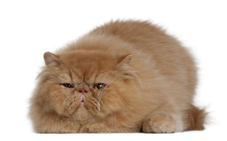 Persian cat, 2 years old, lying in front of white background photo