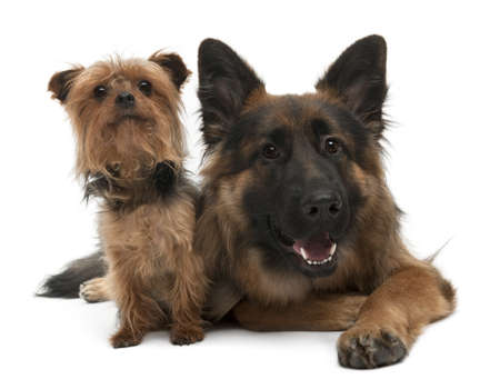 Yorkshire Terrier, 5 years old and German Shepherd, 10 years old, in front of white background photo