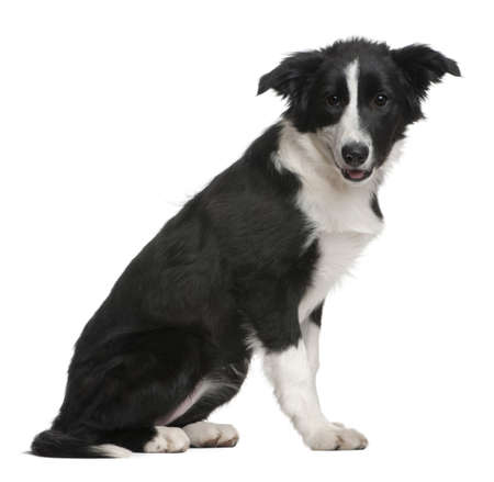 border collie puppy: Border Collie puppy, 4 months old, sitting in front of white background Stock Photo