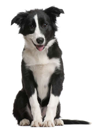 pups: Border Collie puppy, 4 months old, sitting in front of white background Stock Photo