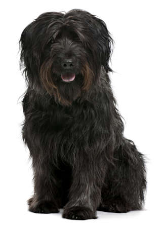 sheepdog: Catalan sheepdog, 6 years old, sitting in front of white background