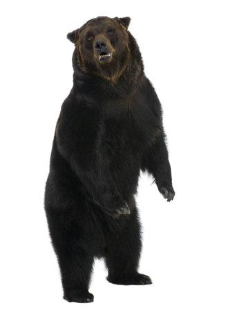 ours: Sib�rie ours brun, 12 ans, debout sur fond blanc