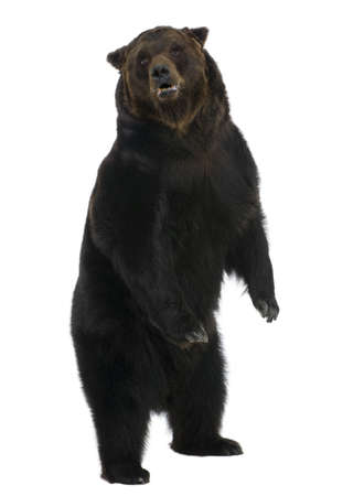 stand out: Siberian Brown Bear, 12 years old, standing upright against white background