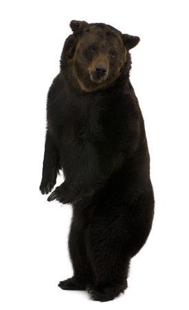 Sibérie ours brun, 12 ans, debout sur fond blanc