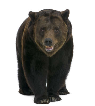 oso: Siberia oso pardo, 12 a�os de edad, caminar sobre fondo blanco