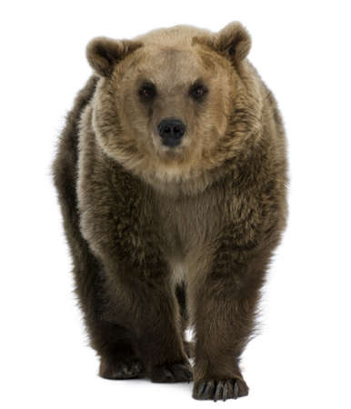 oso: Mujeres oso pardo, 8 a�os de edad, caminar sobre fondo blanco