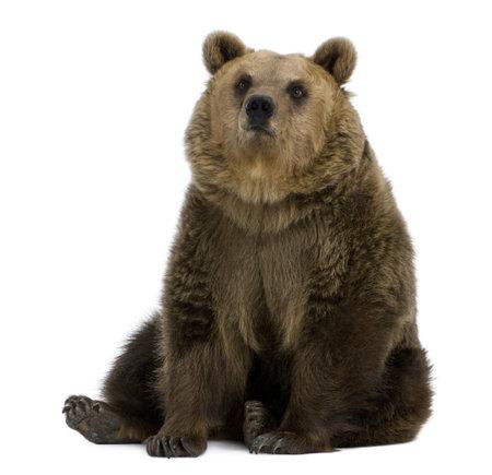 oso: Mujeres oso pardo, 8 a�os de edad, sentado sobre fondo blanco  Foto de archivo