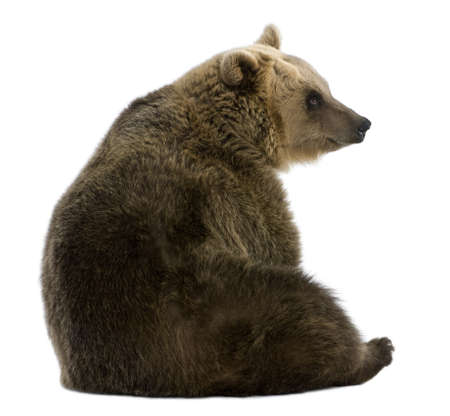 shot from behind: Female Brown Bear, 8 years old, sitting against white background Stock Photo