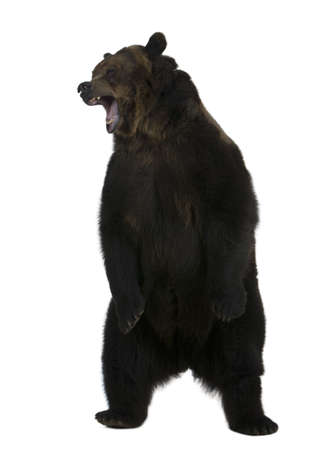 Grizzly bear, 10 years old, standing upright against white background photo
