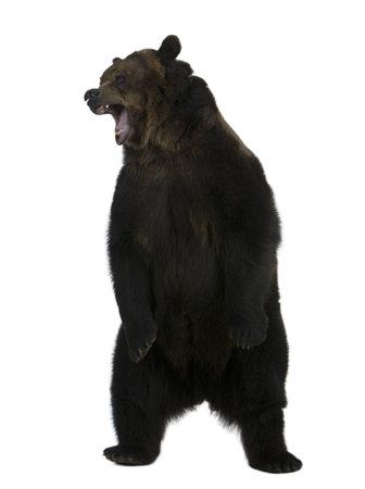 oso pardo: Oso grizzly, 10 a�os de edad, de pie erguido sobre fondo blanco