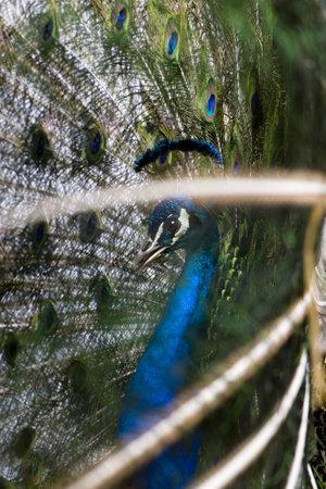 peacock wheel: Maschio indiano congensis visualizzazione ruota su sfondo bianco