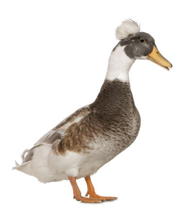 crested duck: Male Crested Duck, 3 years old, standing against white background
