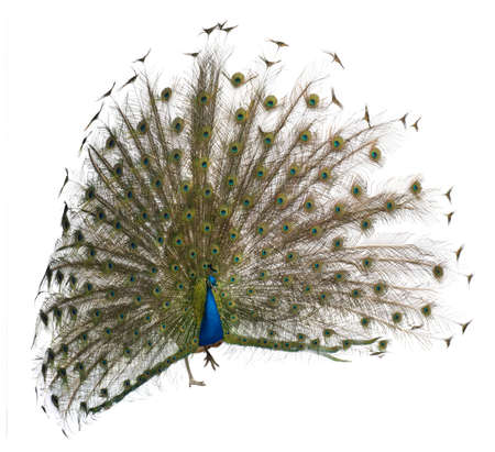 Front view of a male Indian Peafowl displaying wheel against white background photo