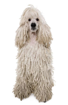 corded: White Corded standard Poodle against white background Stock Photo