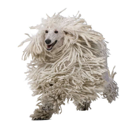 corded: White Corded Standard Poodle running against white background